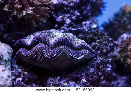 Blue Maxima clam known as Tridacna maxima in a marine reef