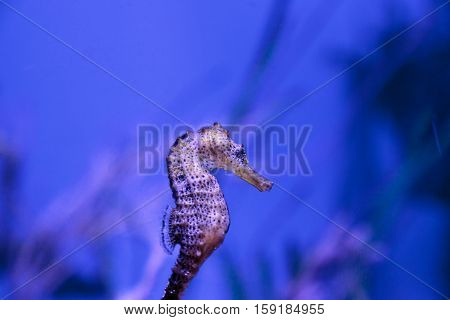 Longsnout seahorse known as Hippocampus reidi in a marine aquarium