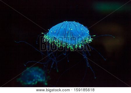 Flower hat jelly known as Olindias Formosa found off the coast of southern Japan.