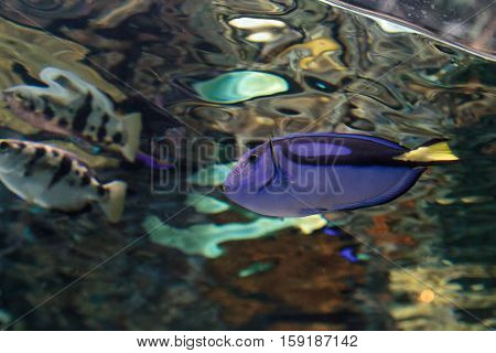 Palette tang fish, Paracanthurus hepatus, is also called the royal blue tang and can be found on a tropical reef in the ocean.