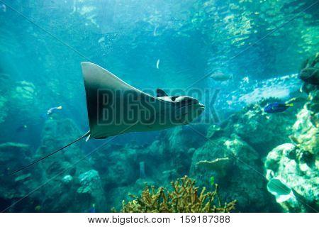 Stingray of the Dasvatis genus glides through the water near a coral reef in a large saltwater aquarium