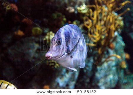Yellowtail surgeonfish called Prionurus punctatus in a saltwater aquarium