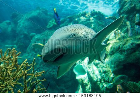 Zebra shark, Stegostoma fasciatum, also called the leopard shark, is a species of carpet shark and is found throughout the tropical Indo-Pacific.