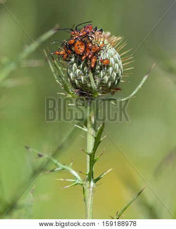 Eastern Leaf-Footed Bug (Leptoglossus phyllopus) nymphs on thistle