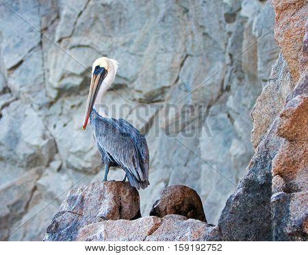 Pelican on Los Arcos cliffs on Lands End at Cabo San Lucas Baja Mexico BCS