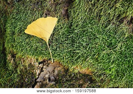 Ginko leaf on green grass Winter season
