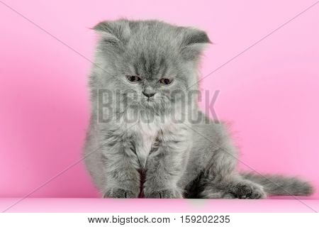 Cute kitten breed Selkirk Rex gray color on pink background in Studio great pet for family
