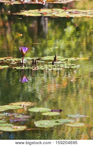 Purple water lily blossom and lilypads in North Georgia pond