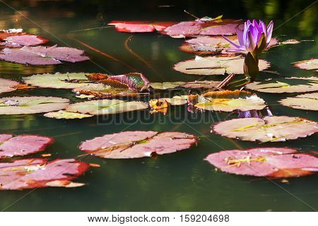 Purple water lily flower and lilypads in North Georgia pond
