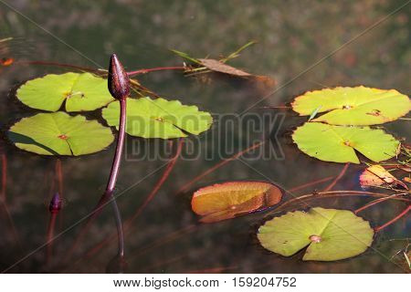 Water lillies pop up in North Georgia pond