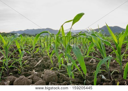 young green corn field in agricultural garden