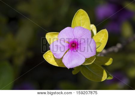 Single Catharanthus Roseus Flower, Rosy Periwinkle