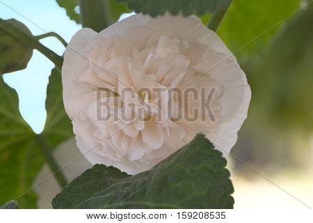 Alcea Rosea, Double Hollyhock, Off White