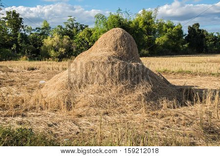 Field with bales of hay or straw. Thailand countryside at harvest time. straw stack wood for animal feed in summer