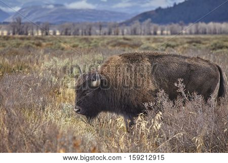 American Bison Grazing In The Grand Teton National Park, Wyoming, Usa.
