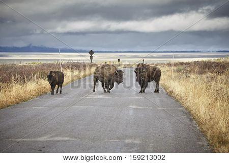 American Bison Crossing Road In Grand Teton National Park, Wyoming, Usa.