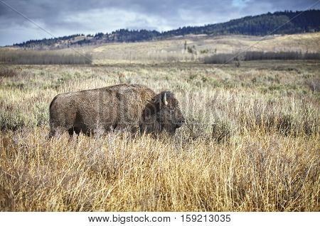 American Bison Grazing In The Grand Teton National Park, Usa.