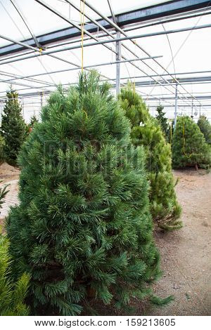 Fresh green christmas trees hanging in the greenhouse waiting for shoppers to select one