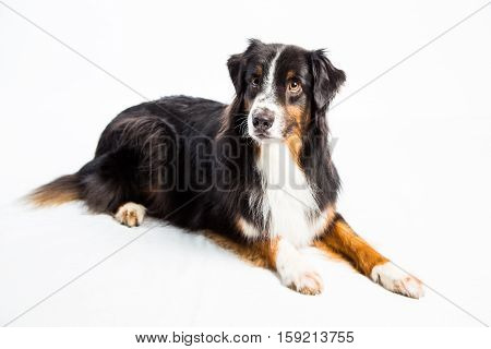 Black Tri colored Australian Shepherd with a long smooth coat poses on white studio background
