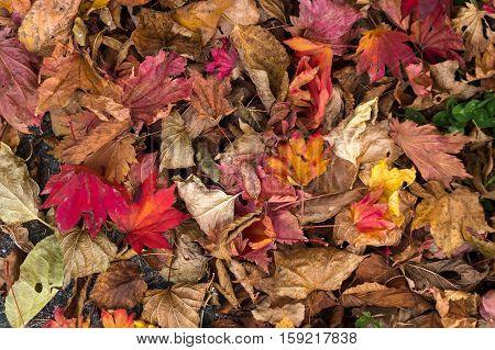 Fall leaves background , Autumn season concept.