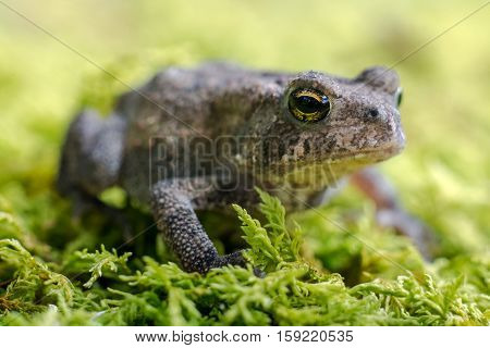 Small toad on green moss showing eye and mouth