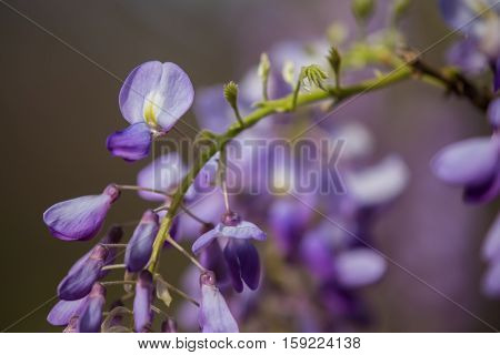 Close up of a Wisteria flower cluster with several buds and one opened flower with purple yellow and white petals and more clusters de-focused in the background