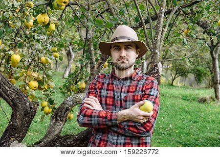 Farmers Market, Healthy Food:  Farmer Man Gathers Organic Homegrown Quince