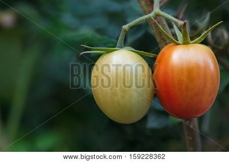 Two tomatoes ripening on vine with blurred leaves