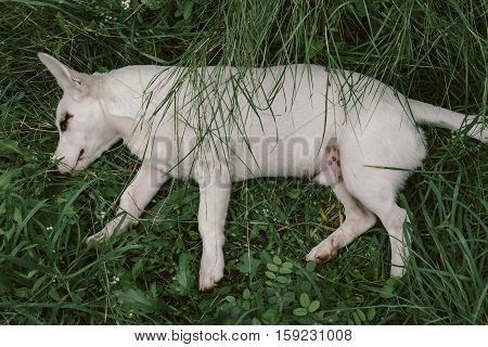 Cute White Dog Plays On Green Lawn