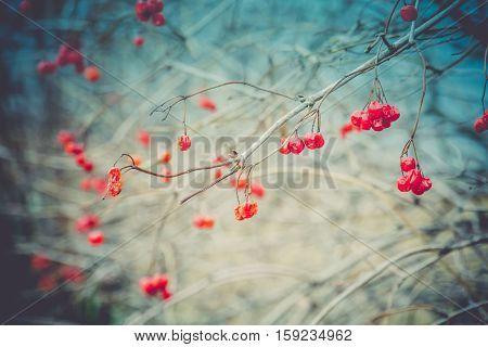 Rowan Berries In Autumn Retro