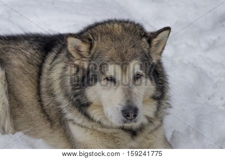 big gray shaggy dog lying in the snow close-up