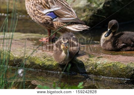 Close up of a beautiful Duck Family at the Lake. Little Ducklings at the Lake