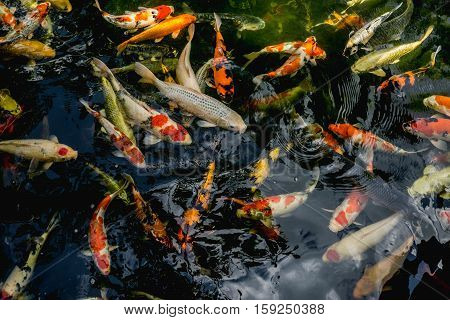 Koi fish Fancy Carp fish swimming in The pond Top view