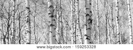 Beautiful landscape with birches. Black and white panorama with birches in retro style. Birch grove in autumn. The trunks of birch trees. Black and white panoramic photo of birch trunks. poster