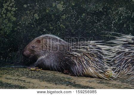 close up porcupine (Hystrix brachyura) in zoo