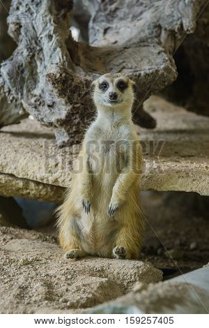 Single Meerkat Sitting on a ground (Suricate)