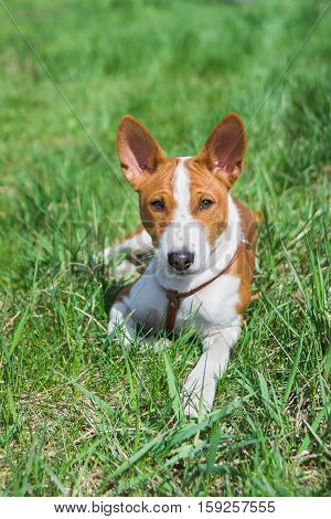 Basenji puppy (5.5 month old) having rest on a grass at sunny day.