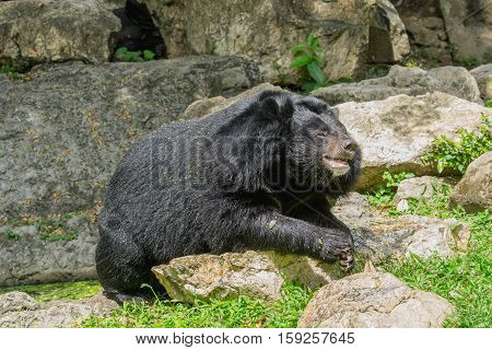 Asiatic black bear lying on the rocks. (Asian Black Bear)