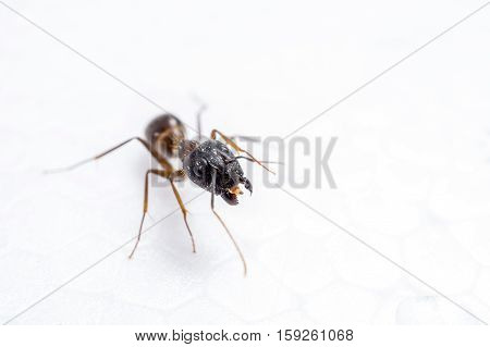 close up one ant on white background