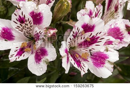 Colorful  Patterns And Texture Detail  Of Alstromeria Flower