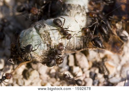 army of ants eatinga dead earth worm. poster