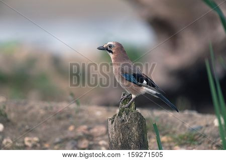 Eurasian Jay Perching On Piece Of Dead Wood.
