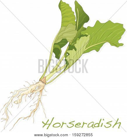 Isolated horseradish root vector on the white background