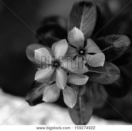 SOFT FOCUS PURPLE  PERIWINKLE FLOWER IN GARDEN