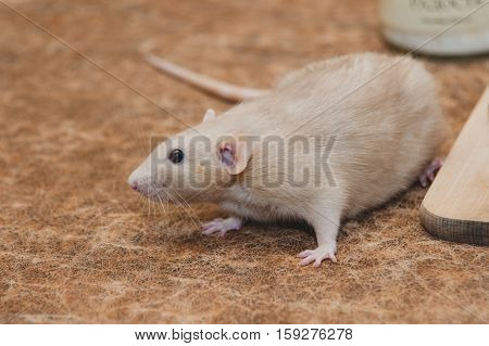 The house rat. Little and cute animal