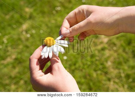 Loves me loves me not. Plucking off the petals of a daisy