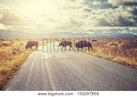 Retro Toned Herd Of American Bison Crossing Road At Sunrise, Wyoming, Usa.