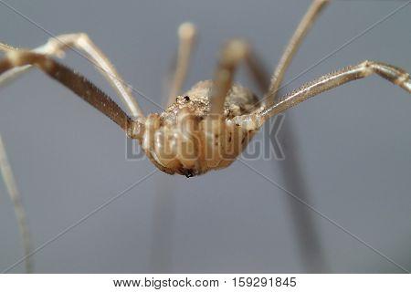 A daddy long legs arachnid close frame