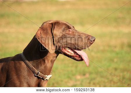 German Shorthaired Pointer adult female light brown