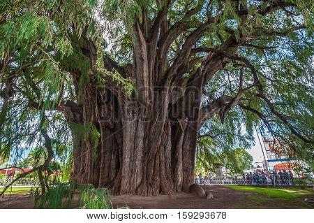 Arbol del Tule a giant sacred tree in Tule Oaxaca Mexico